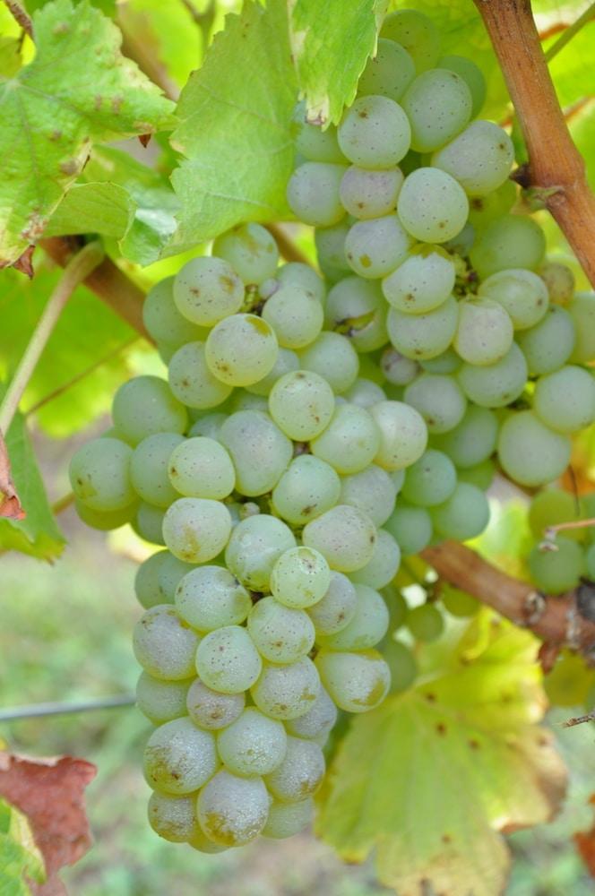 raisin de cheverny au domaine daridan