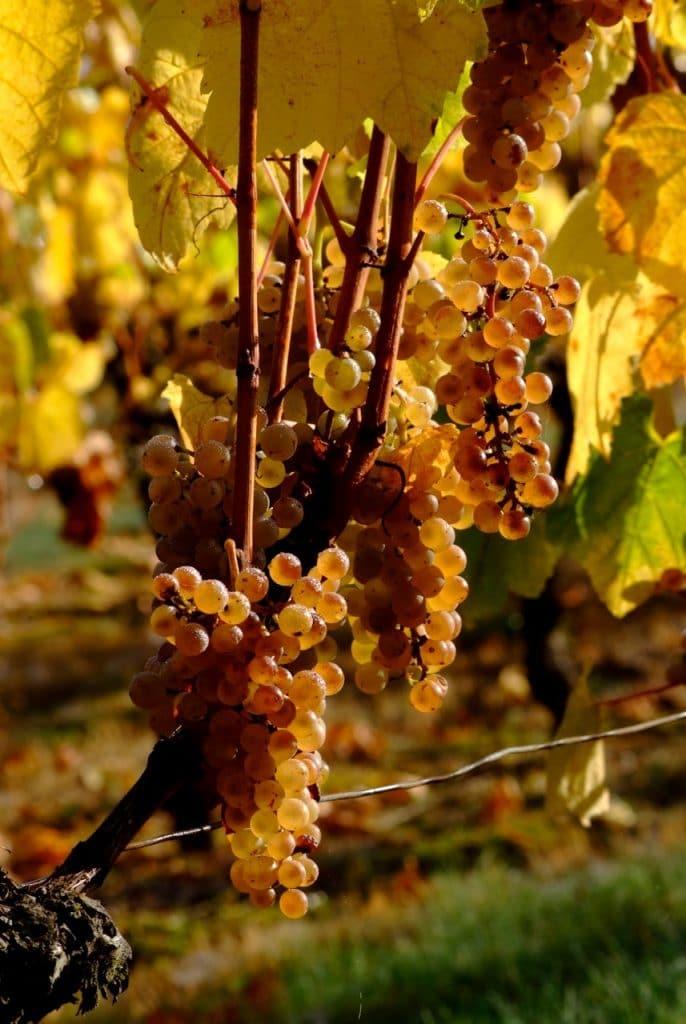 raisins du domaine daridan a cheverny